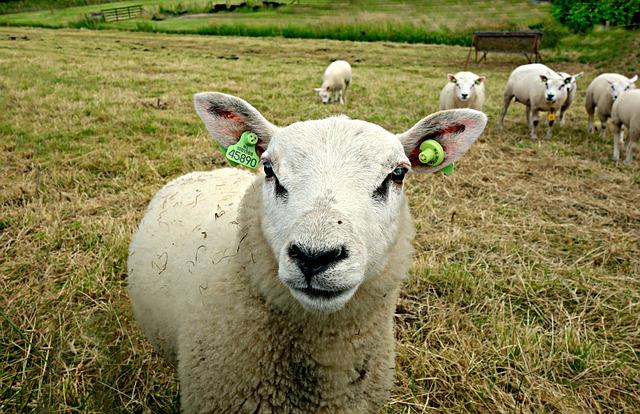 stádo ovcí.jpg