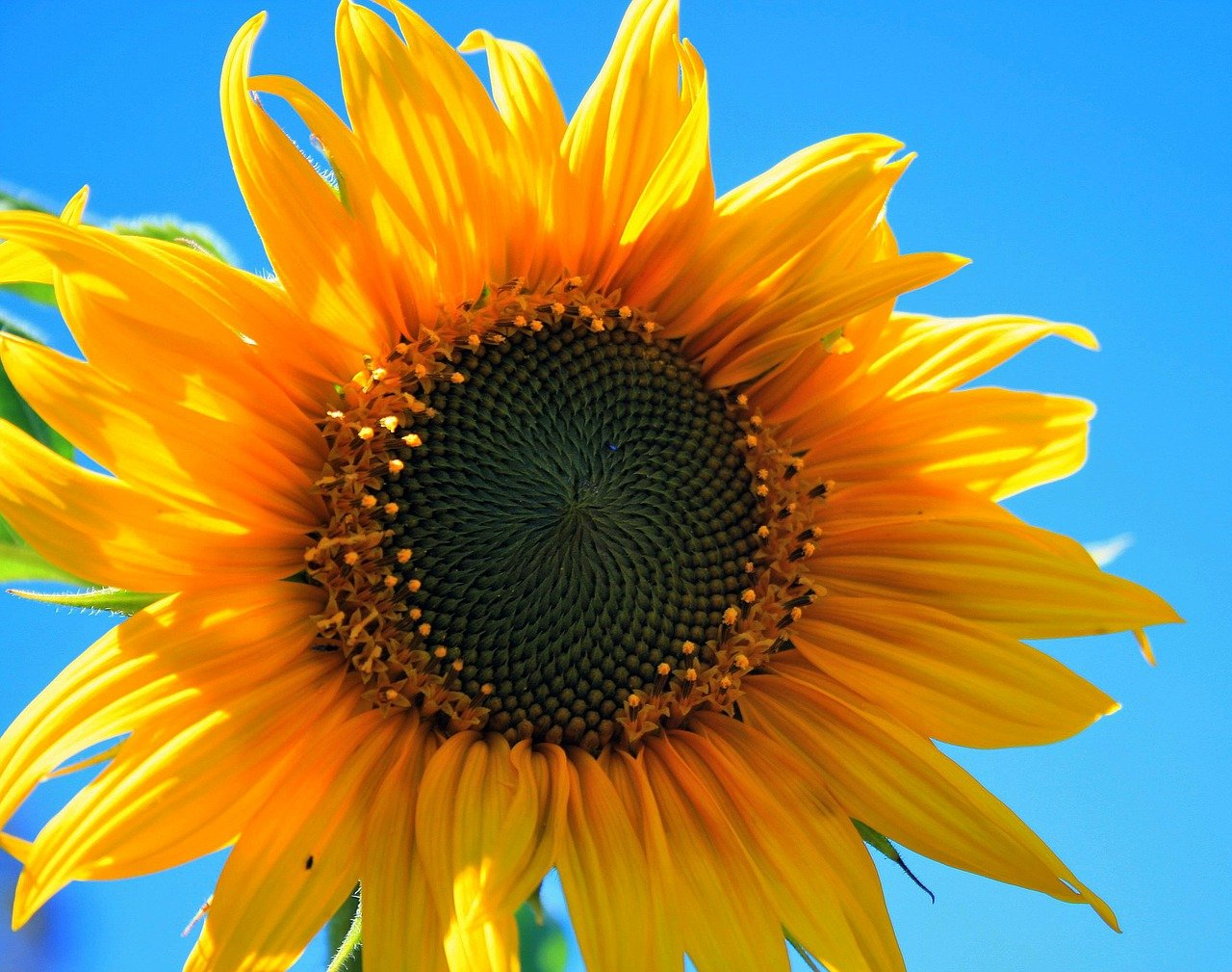 slunečnice1
